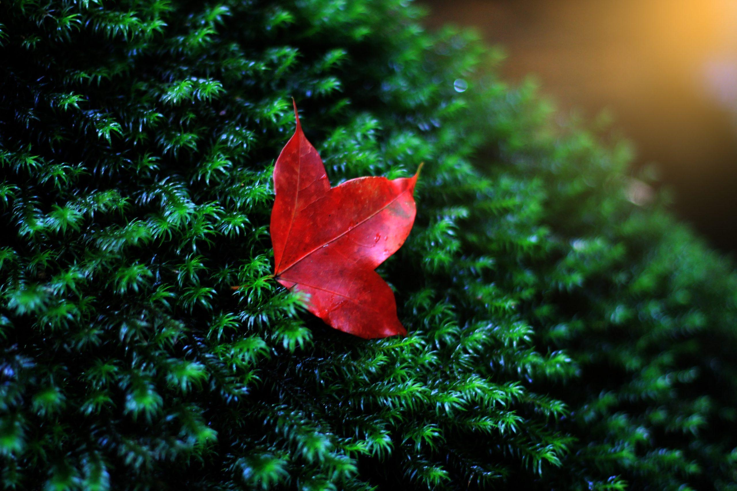 Red leaf on green bush.